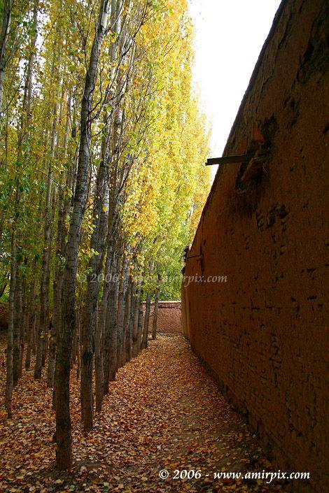 درخت تبریزی